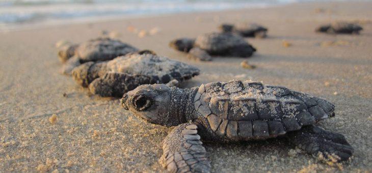 Quantas tartarugas você deixou escapar hoje?